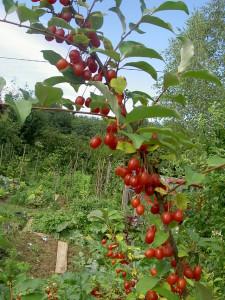 Goumi-fruits